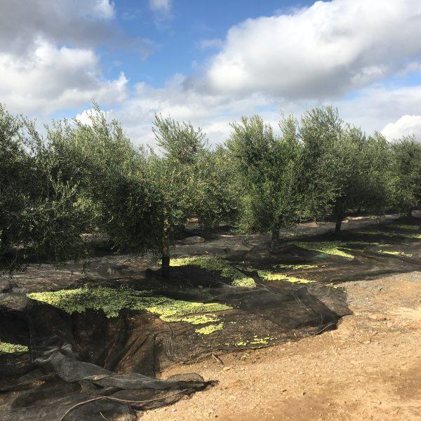 Los aceites de oliva virgen extra Valderrama, los más puros